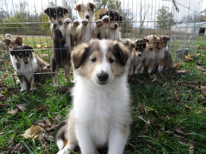 Collie Puppies For Sale From Reputable Dog Breeders